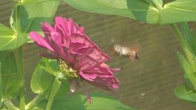 Schmetterlingsmücken. stock video footage