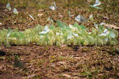 Schmetterlingsmenge Lizenzfreies Stockbild
