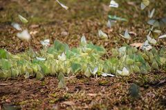Schmetterlingsmenge Lizenzfreies Stockfoto