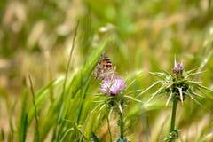 Schmetterlingsnahaufnahmemakro in der Natur stockbild