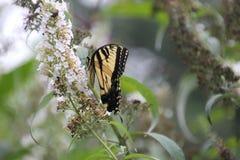 Schmetterlingsnatur Lizenzfreie Stockfotos