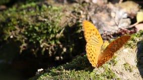 Schmetterlingsnaturszene stock footage