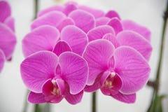 Schmetterlingsorchidee lizenzfreies stockfoto