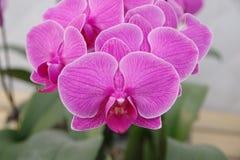 Schmetterlingsorchidee Lizenzfreie Stockfotografie