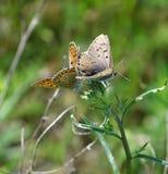 Schmetterlingspaaranschluß Lizenzfreies Stockbild
