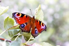 Schmetterlingspfau-Auge Inachis io auf einer Niederlassung eines Baums, eine Flosse Lizenzfreie Stockfotografie