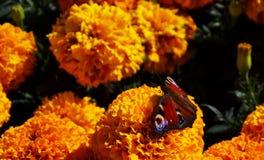 Schmetterlingspfauauge Stockfotos