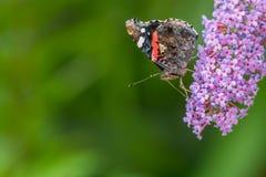Schmetterlingsprofilporträt stockbild
