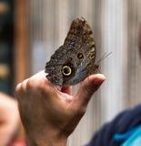 Schmetterlingsregenwaldmakroinsekt widlife HAND lizenzfreies stockfoto
