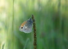 Schmetterlingsrest auf dem Gras Lizenzfreies Stockfoto