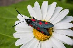 Schmetterlingssechsstelle burnet (Zygaena-filipendulae) auf Kamille Stockbild