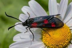 Schmetterlingssechsstelle burnet (Zygaena-filipendulae) auf Kamille Stockfotografie