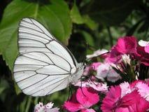 Schmetterlingsweiß Stockfoto