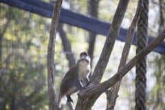 Schmidt's Guenon Monkey Royalty Free Stock Photo