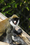 Schmidt's spot-nosed guenon Stock Photo