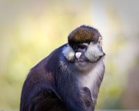 Schmidt\'s Spot-nosed Guenon Royalty Free Stock Photography