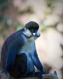 Schmidt\'s Spot-nosed Guenon Stock Photo