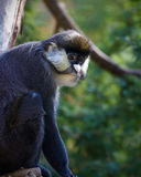 Schmidt\'s Spot-nosed Guenon Stock Photography