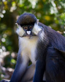 Schmidt\'s Spot-nosed Guenon Royalty Free Stock Photo