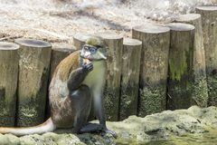 Schmidts Red-Tailed Guenon Eating Stock Photos