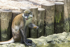 Schmidts Red-Tailed Guenon Stock Images