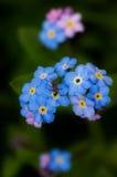 Schmied ich nicht Blume Stockfoto