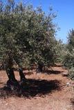 Schmieröl-Baum in Sizilien Stockbild