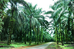 Schmieröl-Palmen-Bauernhof Lizenzfreies Stockfoto
