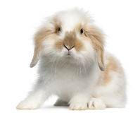 Schmierölniederdruck-Kaninchen, 6 Monate alte Stockfotografie