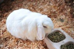 Schmierölniederdruck-Kaninchen Stockfotografie
