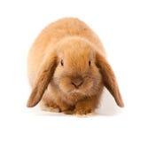 Schmierölniederdruck-Kaninchen, Minischmierölniederdruck (Oryctolagus Cuniculus) Lizenzfreie Stockfotografie