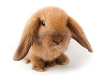 Schmierölniederdruck-Kaninchen, Minischmierölniederdruck (Oryctolagus Cuniculus) Stockbild