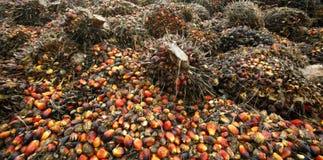 Schmierölpalmenfrüchte Stockfoto