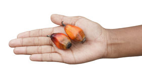 Schmierölpalmenfrüchte in der Hand Stockbild