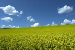 Schmierölrapsfeld unter blauem Himmel Stockfotografie