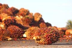 Schmieröl-Palmen-Frucht Stockfoto