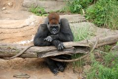 Schmollender Gorilla Stockbilder