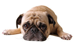 Schmollender Pug Stockfoto
