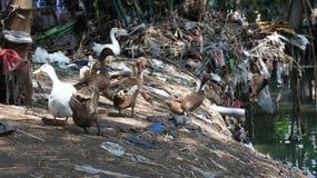 Schmutzige Enten Stockbild