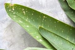 Schmutzige Grünblätter der Nahaufnahme auf Zementwand Stockfotos