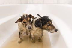 Schmutzige Hunde bereiten für das Waschen vor lizenzfreie stockfotos