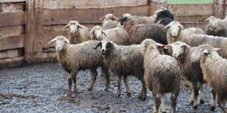 Schmutzige Schafe nach dem Regen an einem russischen Bauernhof Lizenzfreie Stockfotografie