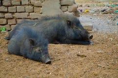Schmutzige Schweine im Elendsviertel in Gaya India Stockfotos