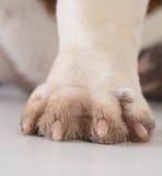 Schmutziger Hundefüße Stockbild