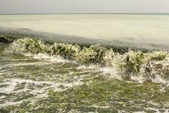 Schmutziges Meerwasser voll der Meerespflanze Stockfotografie