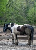 Schmutziges Pferd, das im Schlamm rollte stockfotos