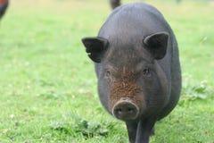 Schmutziges Schwein lizenzfreie stockfotos