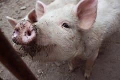 Schmutziges Schwein. Lizenzfreies Stockfoto