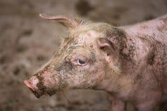 Schmutziges Schwein stockfotografie