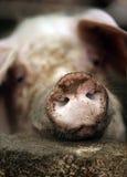 Schmutziges Schwein Stockbilder